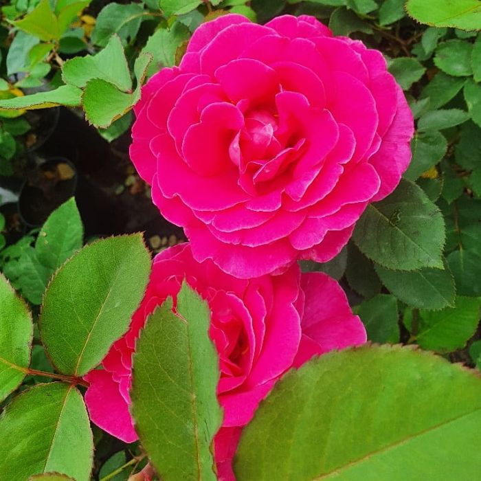 roza-jacaranda-sklep-ogrodowa-galeria-pl